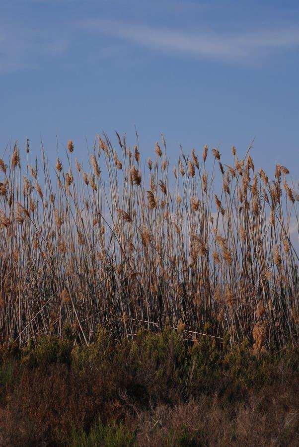 Высокорослые травянистые тростники растя в Испании стоковая фотография