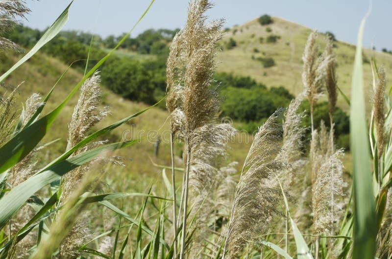 Высокорослые тростники на предпосылке холмов стоковые изображения