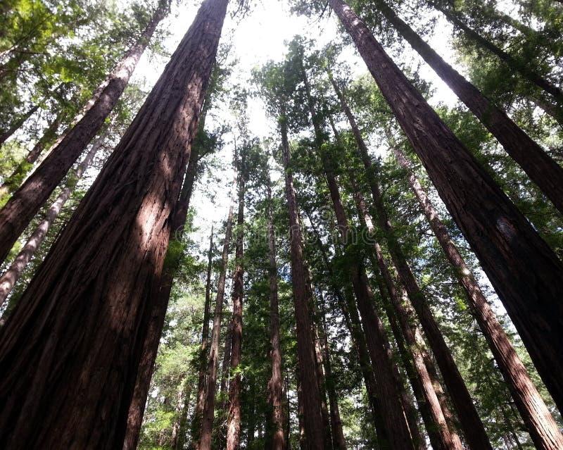 Высокорослый и старый лес стоковая фотография
