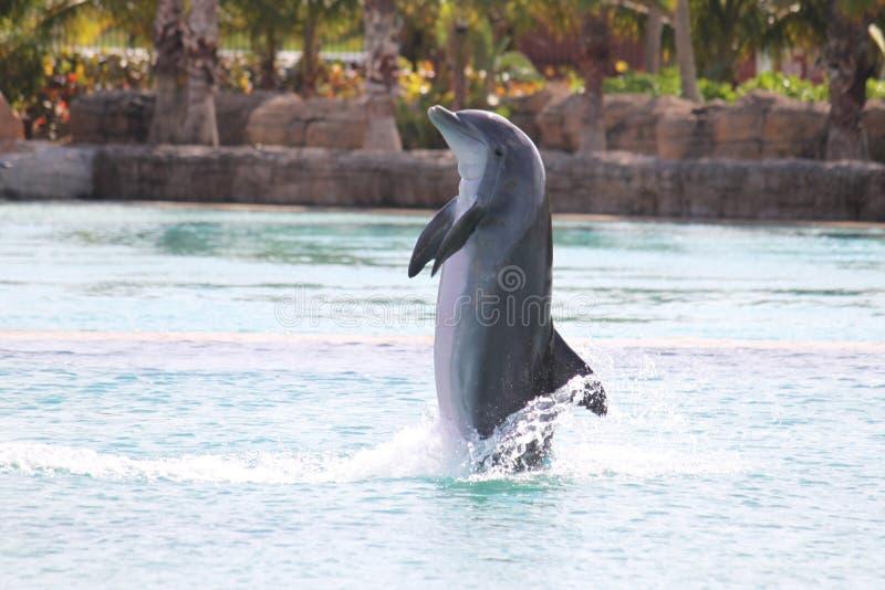 выставка дельфина Атлантиды Багам стоковая фотография rf