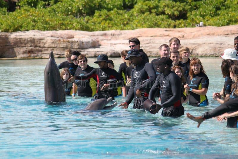 выставка дельфина Атлантиды Багам стоковое фото rf