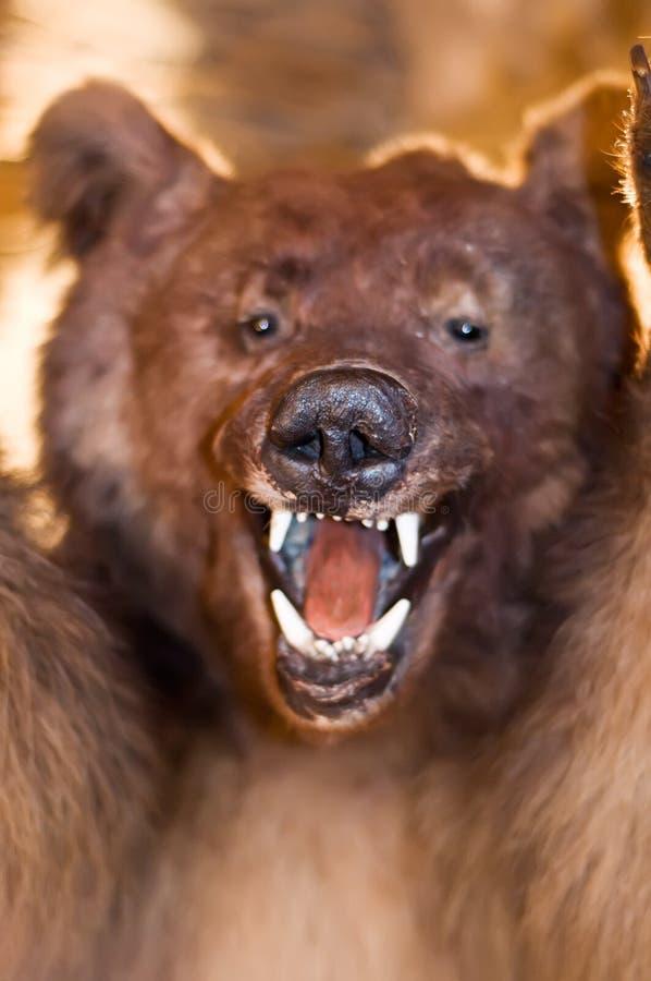 Выставка медведя его зубы стоковая фотография rf
