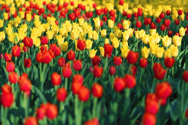 Выставка тюльпанов цветков, красных и желтых стоковое фото