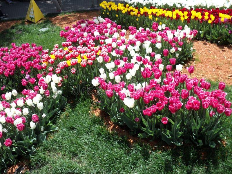 выставка blossoming тюльпанов в парке города Киева стоковые изображения
