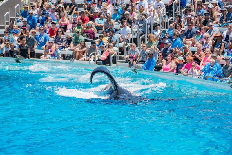 Выставки дельфин-касаток в известном SeaWorld стоковая фотография rf