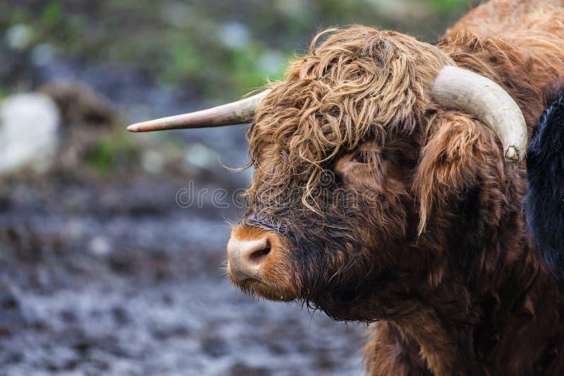 Выстрел в голову гористой местности Bull стоковое изображение