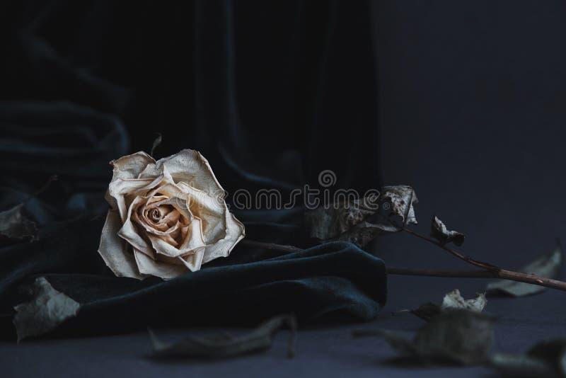 Высушенная белая роза на серой предпосылке при темный бархат задрапировывая стоковые изображения
