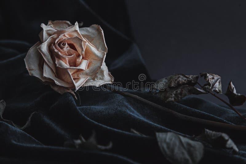 Высушенная белая роза на серой предпосылке при темный бархат задрапировывая стоковые изображения rf