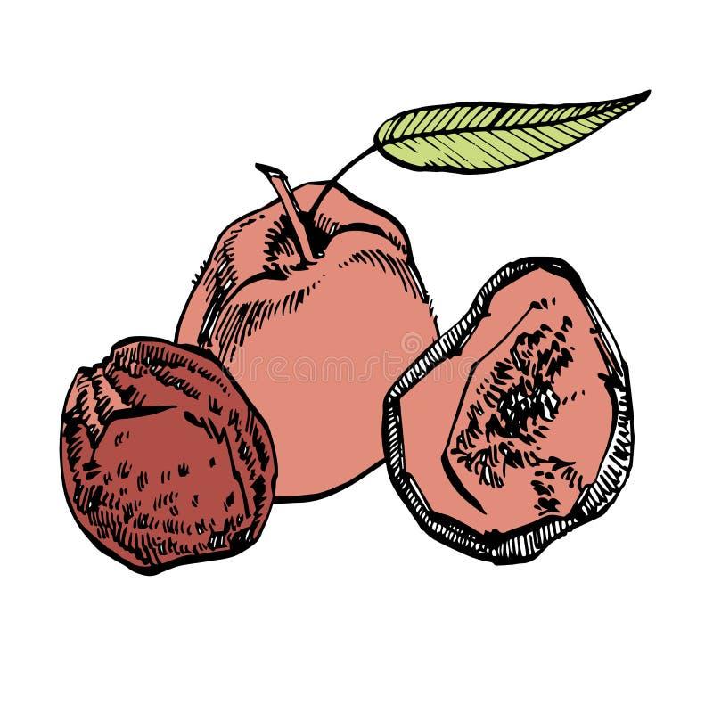 Высушенная иллюстрация руки вектора персиков вычерченная Эскиз чернил гаек Нарисованная рукой иллюстрация вектора Изолировано на  иллюстрация вектора