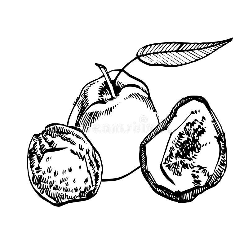 Высушенная иллюстрация руки вектора персиков вычерченная Эскиз чернил гаек Нарисованная рукой иллюстрация вектора Изолировано на  бесплатная иллюстрация