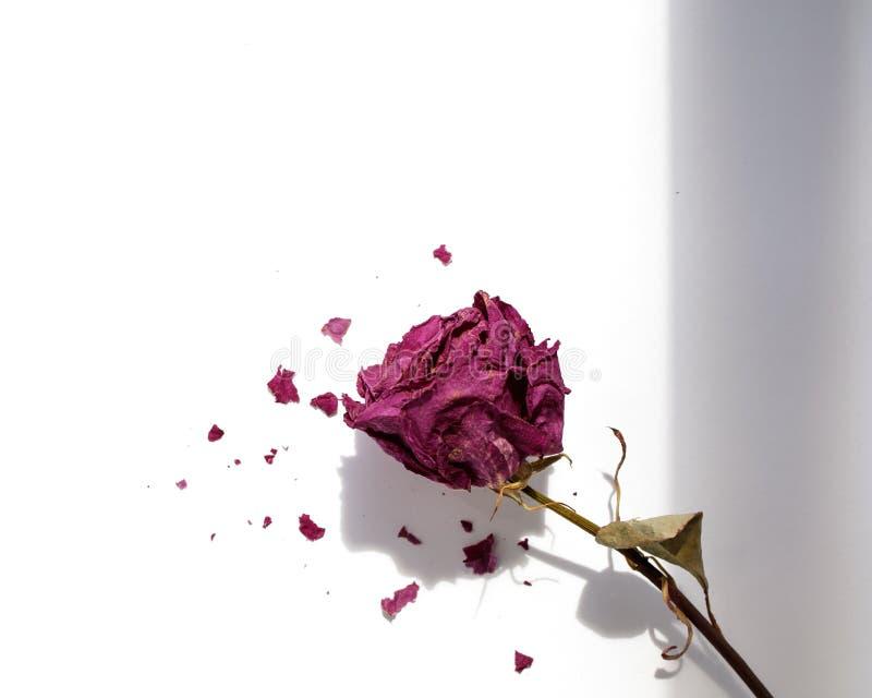 Высушенная красная роза с тенью на белой предпосылке стоковые фотографии rf