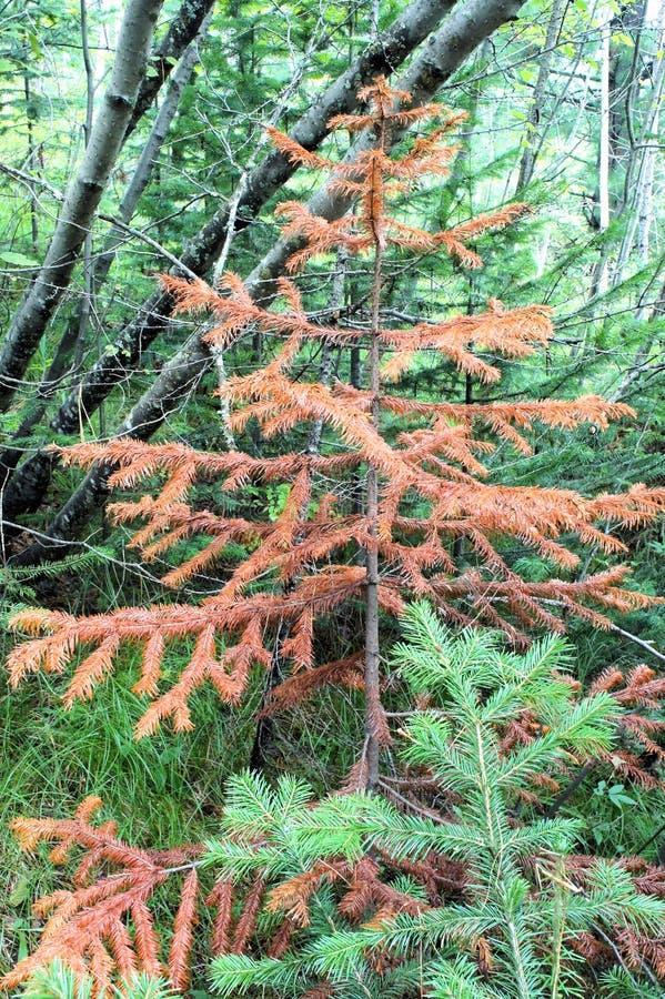 Высушенная молодая хвоя против других зеленых деревьев стоковые изображения rf