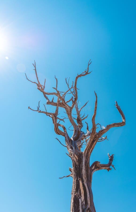 Высушенное дерево в национальном парке гранд-каньона Климат пустыни Аризоны стоковые фотографии rf