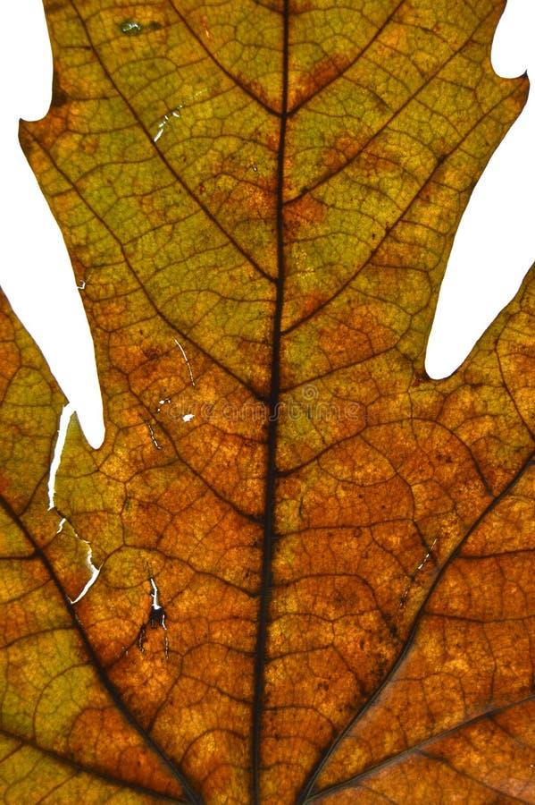 Высушенное плоское дерево выходит в осень стоковые изображения