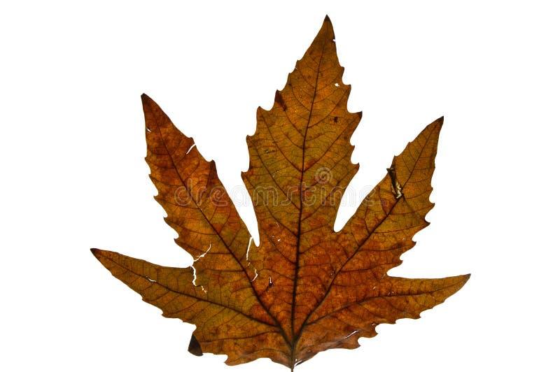 Высушенное плоское дерево выходит в осень стоковые фотографии rf