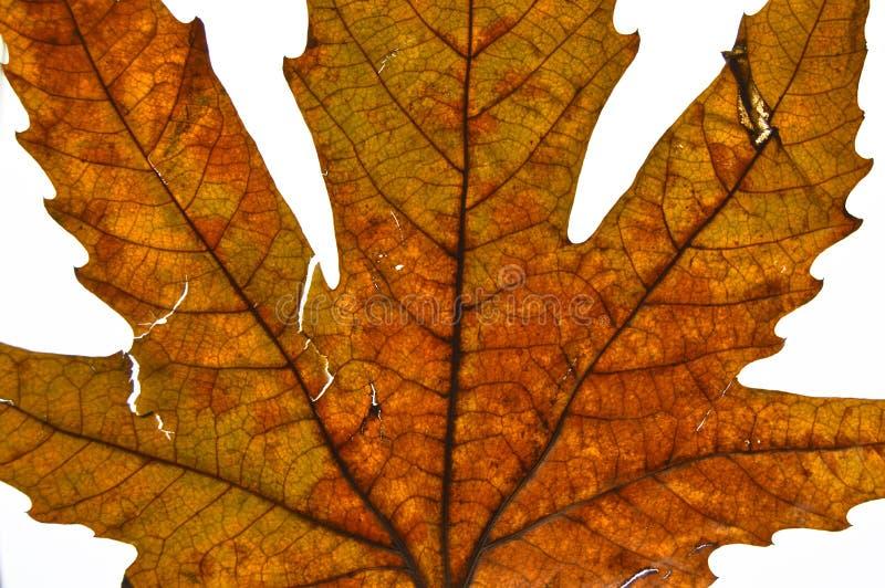 Высушенное плоское дерево выходит в осень стоковые изображения rf