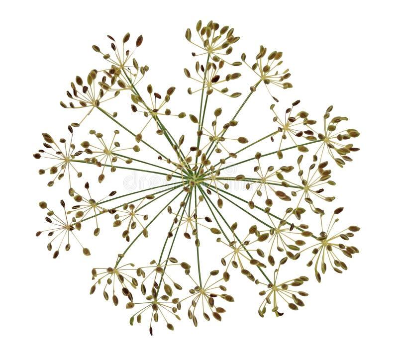 Высушенное семя цветка укропа стоковые изображения