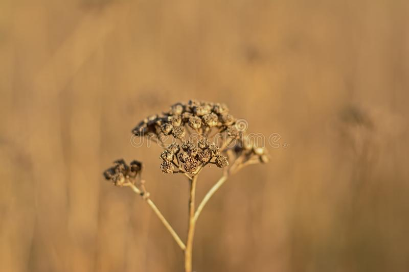 Высушенные коричневые seedpods цветка пижмы - vulgare Tanacetum стоковое изображение
