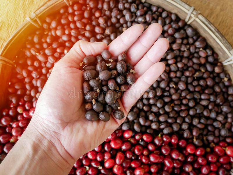 Высушенные кофейные зерна в руке, ягоды ягод кофейных зерен суша с процессом солнца естественным стоковое изображение