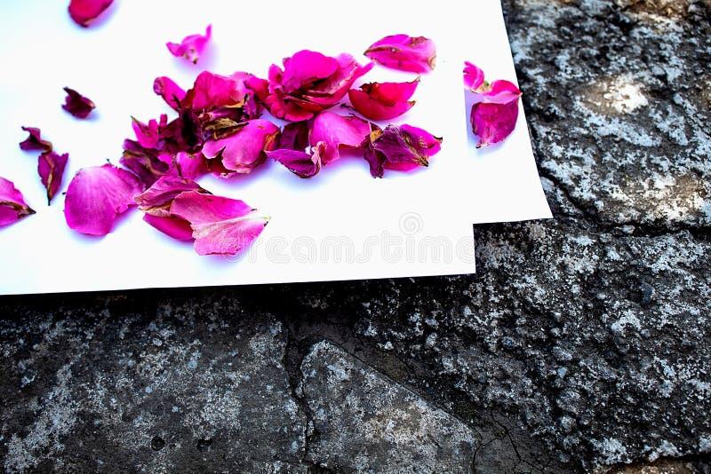 Высушенные лепестки красной розы на белой предпосылке E r r стоковые фото