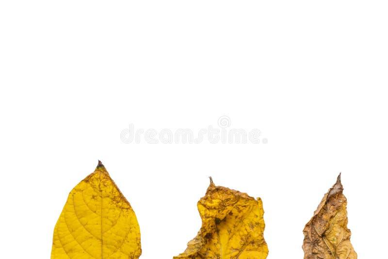 Высушенные листья на белой ioslated предпосылке, стоковая фотография