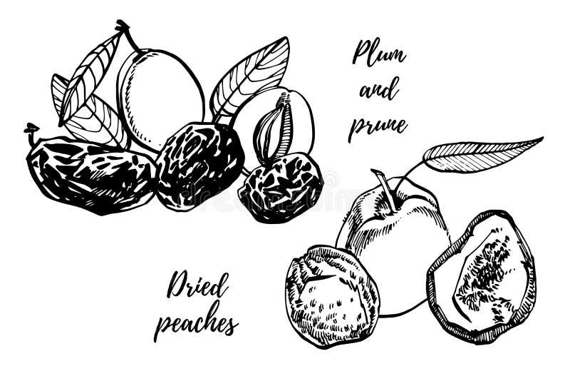 Высушенные персики и черносливы, сливы вручают вычерченную иллюстрацию Эскиз чернил гаек иллюстратор иллюстрации руки чертежа угл иллюстрация штока