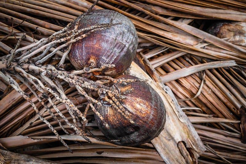 Высушенные плоды кокоса на высушенных листьях кокоса стоковое изображение