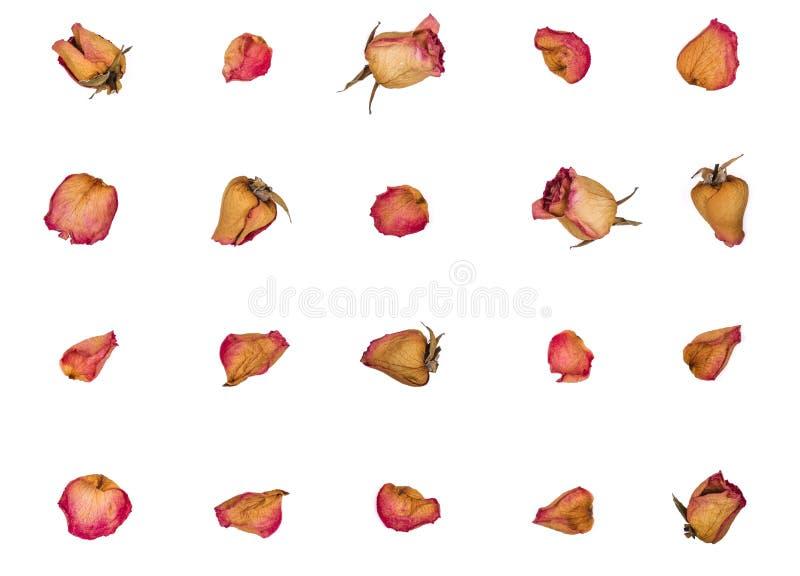 Высушенные розы и лепестки изолированные на белой предпосылке Плоское положение стоковые изображения