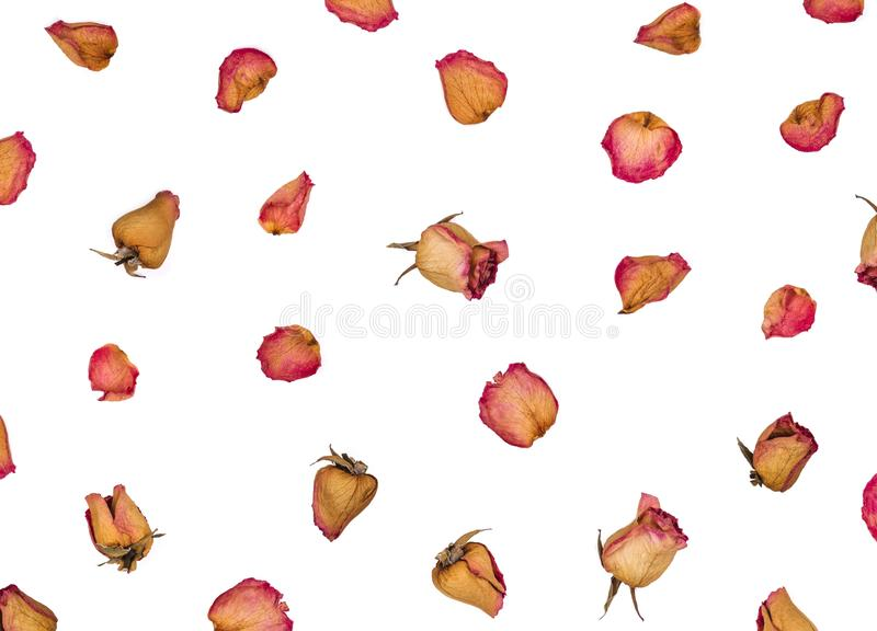 Высушенные розы и лепестки изолированные на белой предпосылке Плоское положение стоковое изображение rf