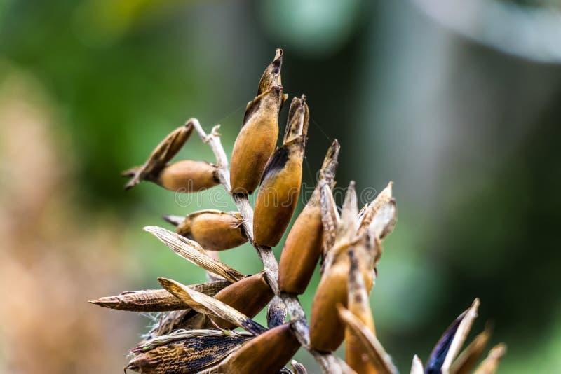 Высушенные семена цветка после летнего времени стоковые фотографии rf
