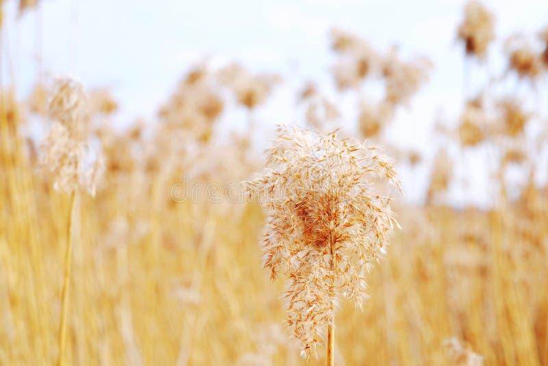 Высушенные тростники, трава стоковое изображение