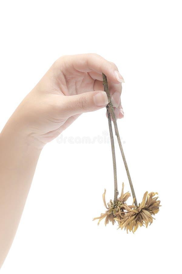 Высушенные цветки и руки стоковые фотографии rf