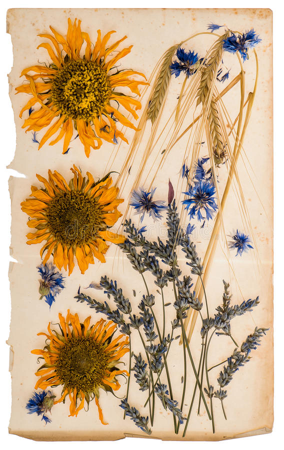 Высушенные цветки на постаретом бумажном листе гербарий солнцецветов, мозоль стоковое фото rf