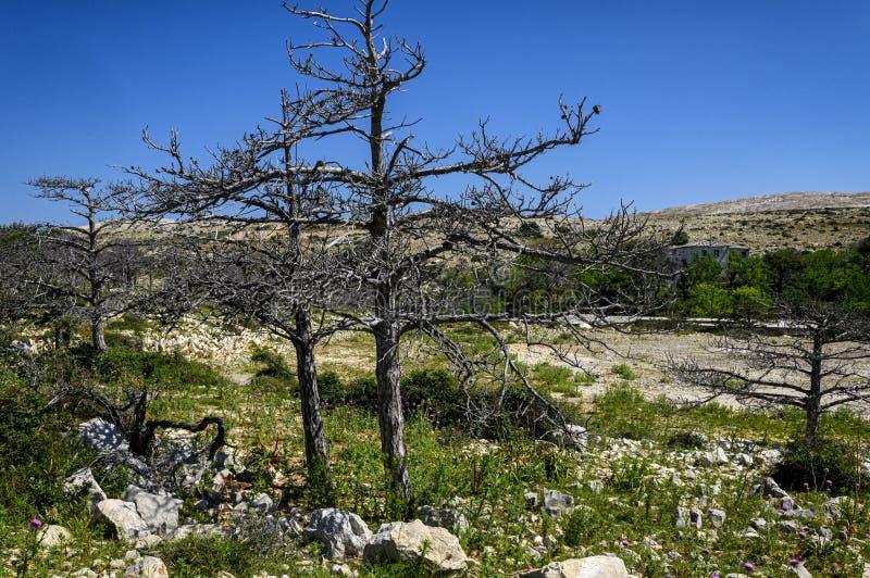 Высушенный - вне деревья на otok Goli, политический остров тюрьмы в бывшей Югославия стоковое фото rf