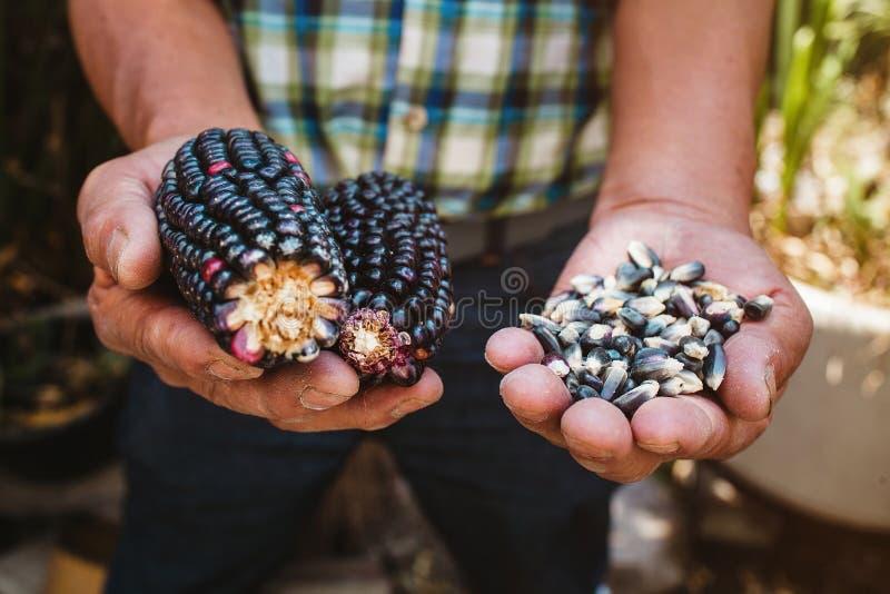 Высушенный голубой удар мозоли, маис голубого цвета в мексиканских руках в Мексике стоковые изображения rf