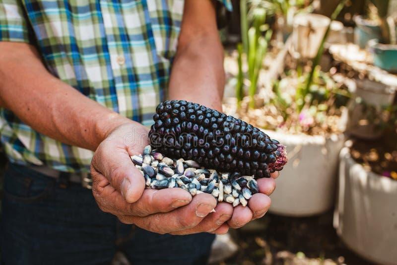 Высушенный голубой удар мозоли, маис голубого цвета в мексиканских руках в Мексике стоковые фото