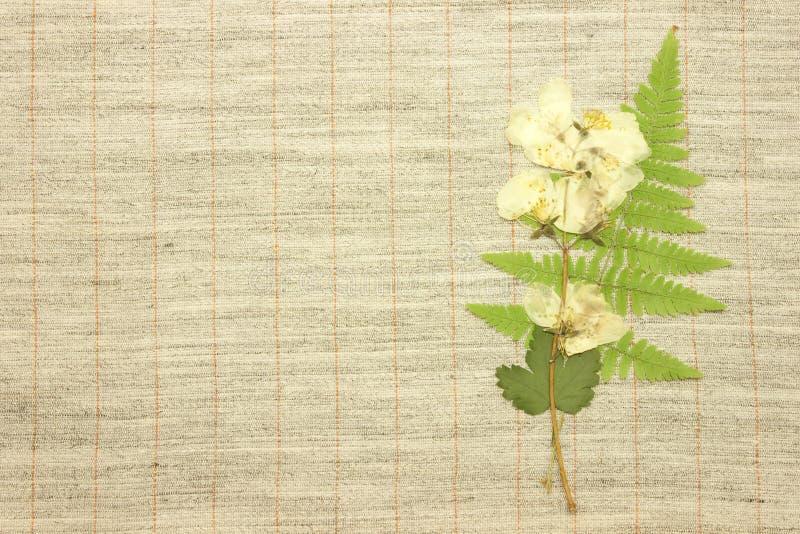 высушенный жасмин стоковая фотография rf
