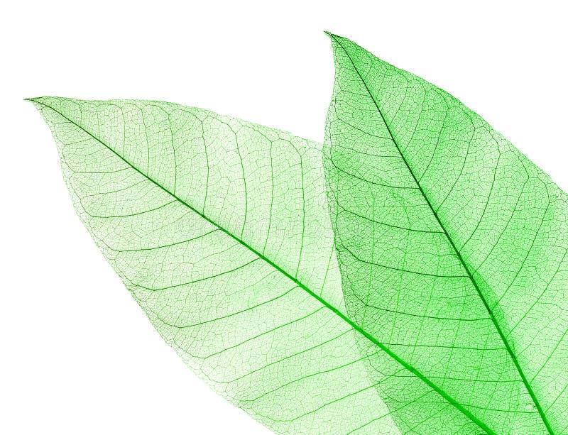 Download высушенный зеленый цвет изолировал белизну листьев 2 Стоковое Фото - изображение насчитывающей environment, предмет: 18396530