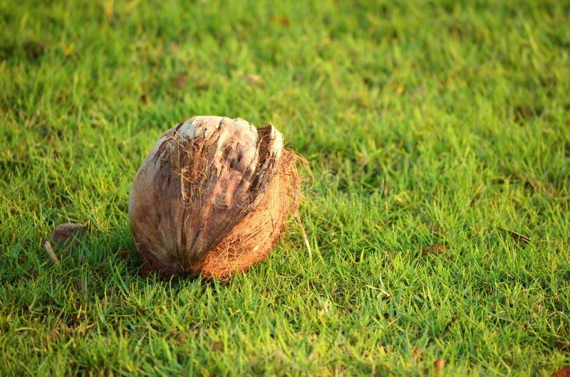 Высушенный кокос на зеленой траве стоковая фотография