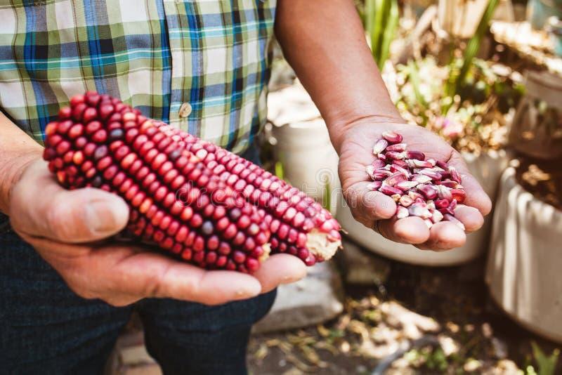 Высушенный красный удар мозоли, маис красного цвета в мексиканских руках в Мексике стоковые фото