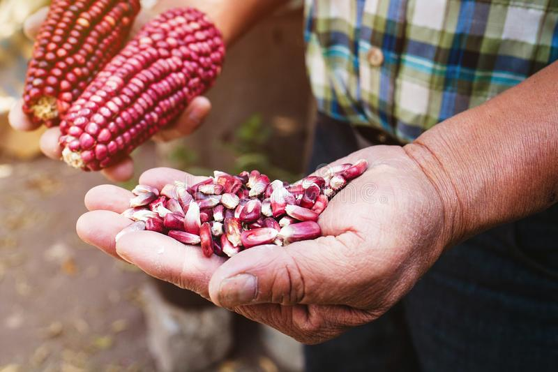 Высушенный красный удар мозоли, маис красного цвета в мексиканских руках в Мексике стоковое фото