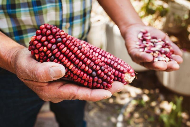 Высушенный красный удар мозоли, маис красного цвета в мексиканских руках в Мексике стоковые изображения rf