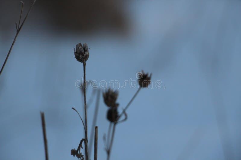 Высушенный цветок поля стоковое изображение rf
