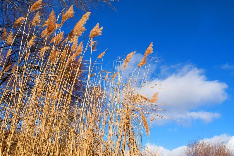 высушите зиму неба спешкы стоковое изображение rf
