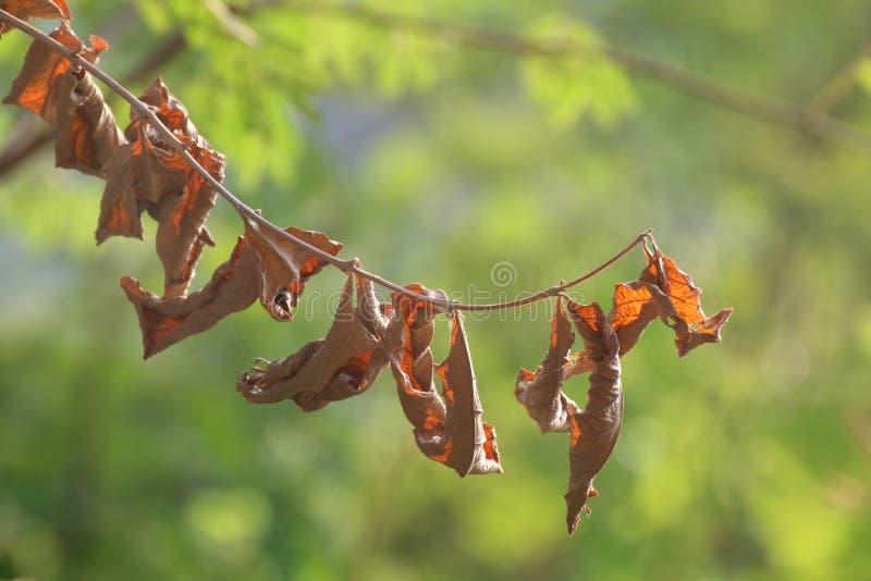 Высушите листья вися ветви удлиняя от верхним запачканной изображением предпосылки зеленого цвета лесного дерева стоковые фотографии rf