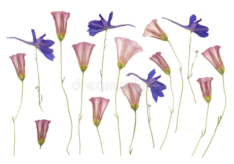 Высушите отжатые полевые цветки изолированные на белизне стоковые фотографии rf