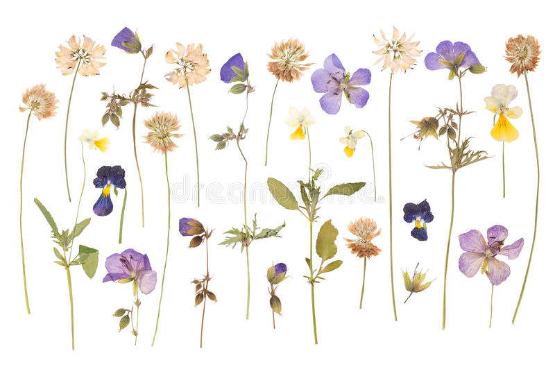 Высушите отжатые полевые цветки изолированные на белизне стоковое фото