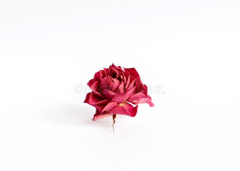 Высушите розовую на белой предпосылке стоковые изображения rf