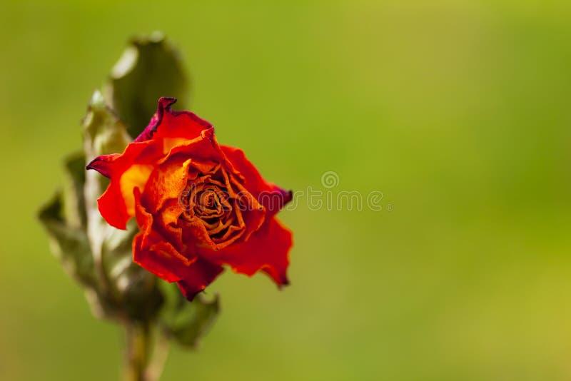 Высушите розу красного цвета стоковая фотография
