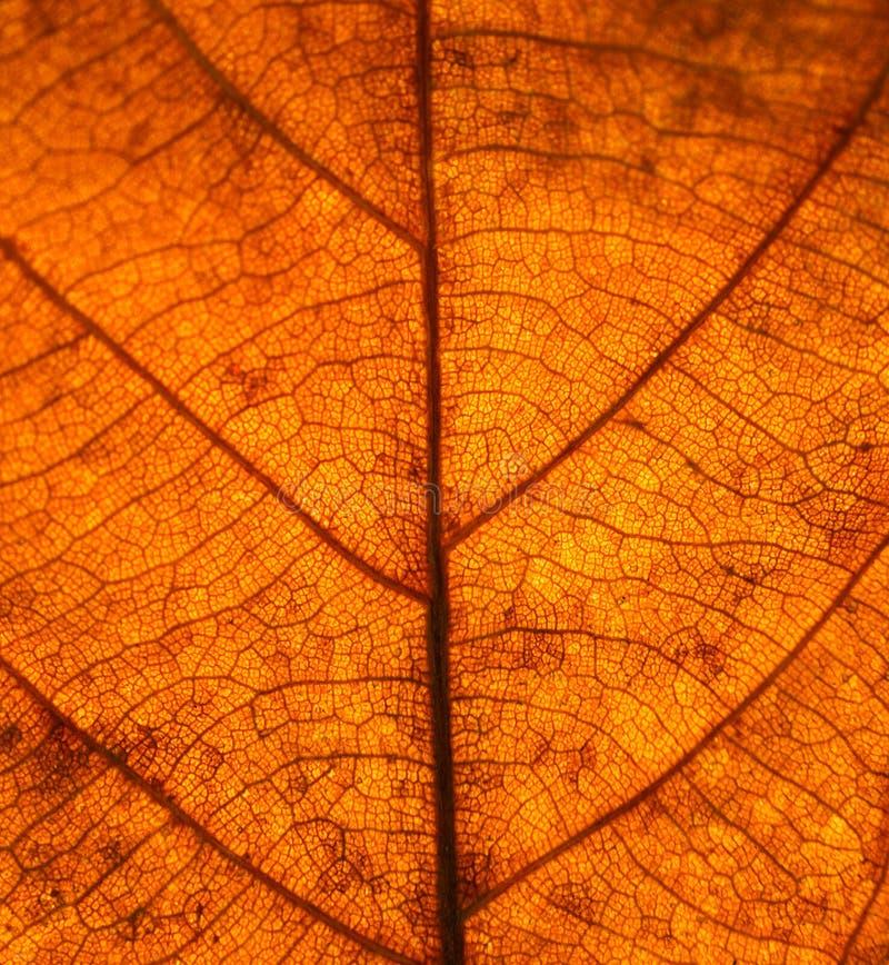 Высушите текстуру вен листьев Закройте вверх на текстуре лист Лист veins m стоковое изображение